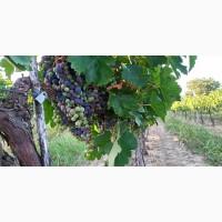 Продам виноград Каберне-Совиньон, Вино сухое марочное