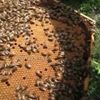Бджоли. Пчёлы. Бджоломатки молоді, плідні, мічені Карпатка