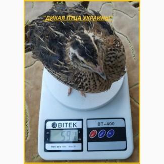 Яйцо инкубационные перепела Фараон (Espana)