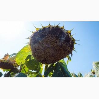 Насіння соняшника - Форест (гранстаростійкий соняшник)