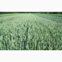 Пшеница озимая сорт Фаустус, Немецкая селекция, Двуручка, 1 Реп