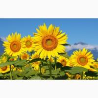 Насіння соняшнику Карат і Нео (толерантні до 25г. гранстару)