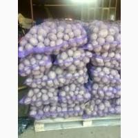 Картошка бела росса