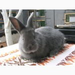 Продам кроликов породы Венский Голубой