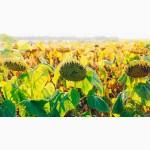 Насіння Соняшнику під Гранстар по доступній ціні та з гарантією якості