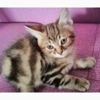 Продаются котята породы Курильский бобтеил