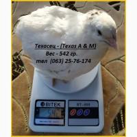 Яйца инкубационные перепела Белый Техасец - супер бройлер (США)