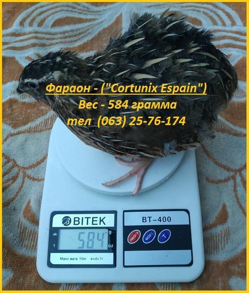 Фото 2. Яйца инкубационные перепела Фараон испанский
