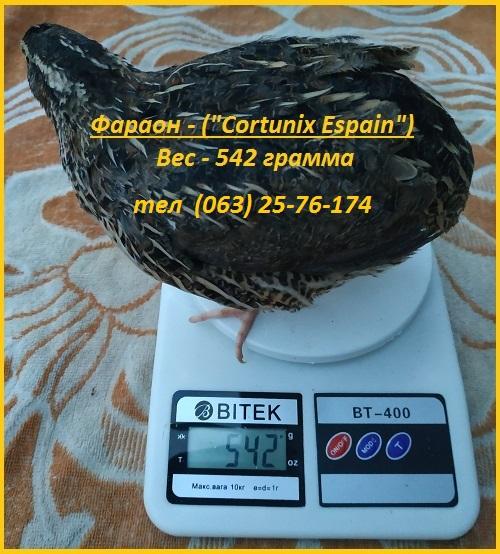 Фото 3. Яйца инкубационные перепела Фараон испанский