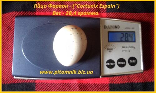 Фото 5. Яйца инкубационные перепела Фараон испанский