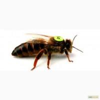 Бджоломатки Карніка, бакфаст, італійка, карпатка F1