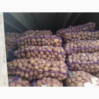 Продам товарный картофель, сорт Королева Анна Беларусь