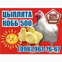 Супер цыплята бройлер. КОББ 500