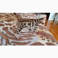 Бенгальская кошка Львов. Бенгальский Кот во Львове