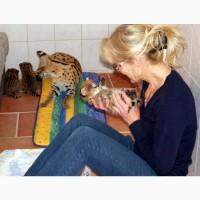 Продам котят Сервала