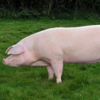 БМВД для свиней финиш