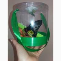 Набор куколок + живая бабочка =2 в 1