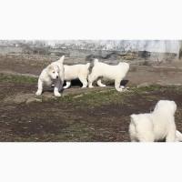 Щенки среднеазиатской овчарки возраст 2 месяца