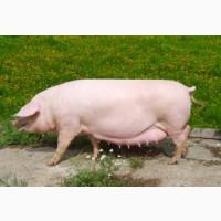 БМВД для супоросных свиноматок