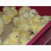 Цыплята бройлера оптом