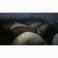 Продам мясных свиней
