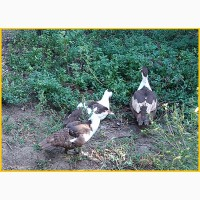 Мускусные утки, индоутка (Голландия, Германия) на племя