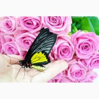 Живая бабочка Птицекрылка - лучший подарок для ребенка