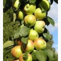Саженцы колоновидной яблони