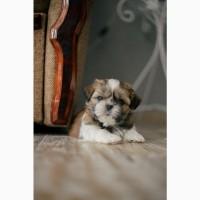 Продам щенков породы Ши-тцу