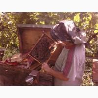Продам бджолопакети та плідні мічені матки карпатка