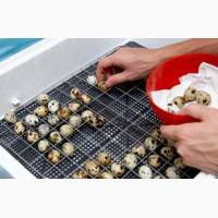 Инкубационные яйца перепелов. Эстонцы, Техасцы