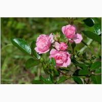 Rizactive Rose (розовый экстракт в рисовом молочке)