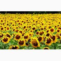 Насіння соняшнику карат - високоякісне насіння від виробника НК ГРАН