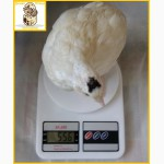 Яйца инкубационные перепела Техасец - супер бройлер (США)
