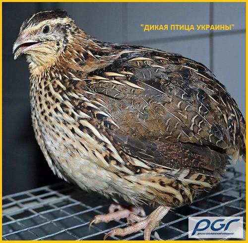 Фото 3. Яйца инкубационные перепела Фараон (селекция Испании)