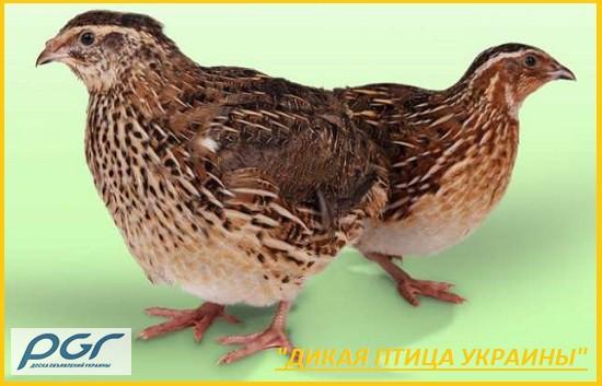 Фото 4. Яйца инкубационные перепела Фараон (селекция Испании)