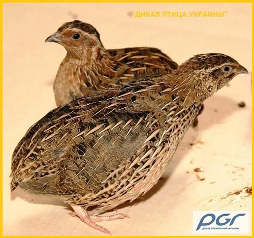 Фото 5. Яйца инкубационные перепела Фараон (селекция Испании)