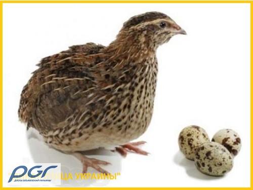 Фото 6. Яйца инкубационные перепела Фараон (селекция Испании)