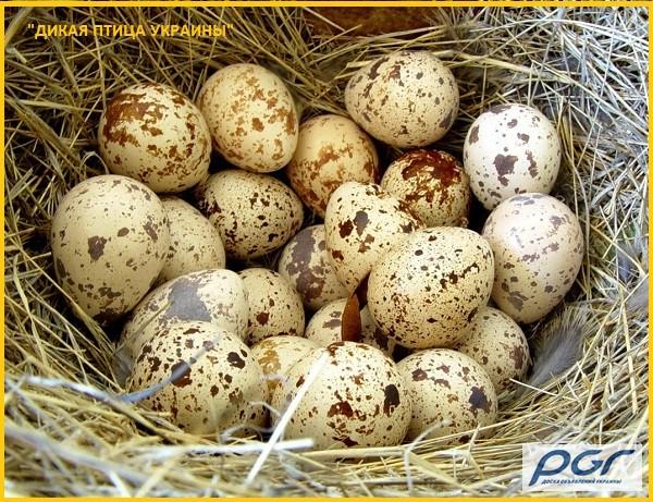 Фото 7. Яйца инкубационные перепела Фараон (селекция Испании)