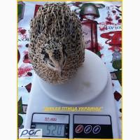 Яйца инкубационные перепела Феникс Золотистый - (селекция Франции)