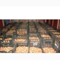 Оптовые продажи посевного лука