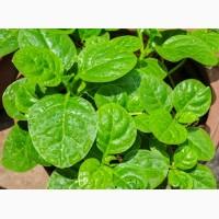 Базелла біла, малабарський шпинат (Basella alba)