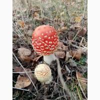 Мухомор красный, сушенные шляпки