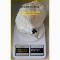 Яйца инкубационные порода Техасский белый - бройлер (США)
