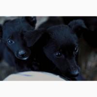 Щенки метисы (немецкой черной овчарки и лайки)