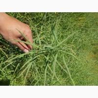 Ріпак озимий(насіння) гібрид Шелбі